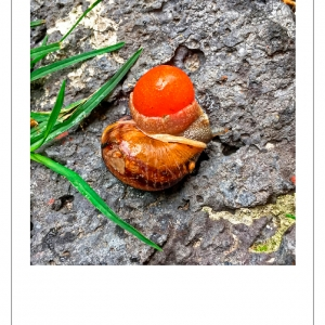 http://www.balambartolome.com/files/gimgs/th-94_Caracol-Tomate-web.jpg